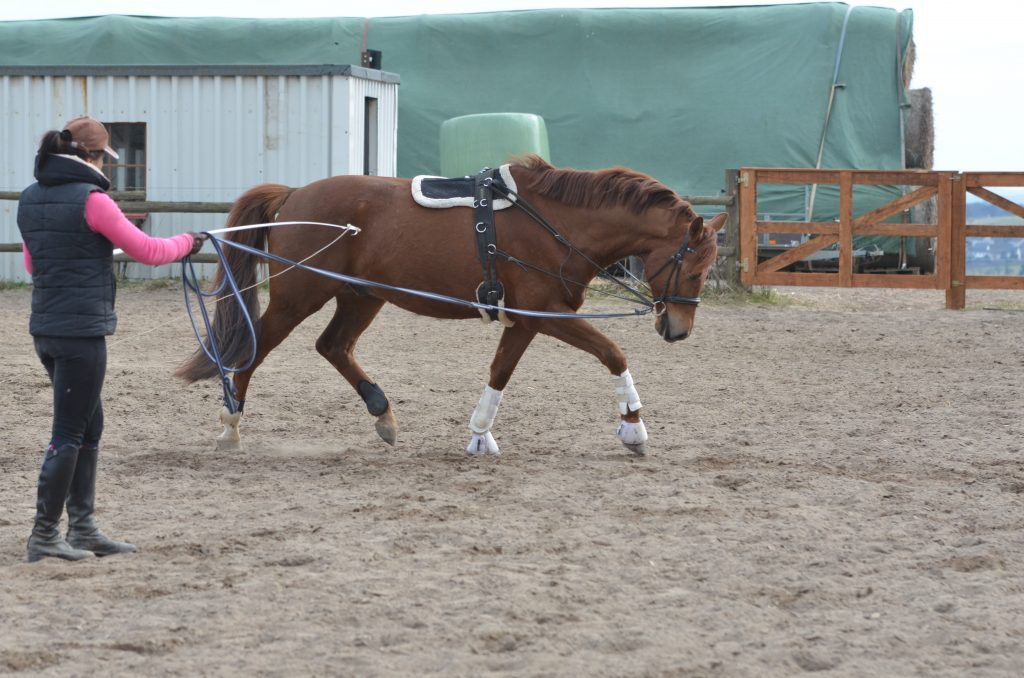 Lunging Training is a great way to train your horse without a rider on its back. We show you many exercises on how to lunge your horse with side reins and for its best benefit.